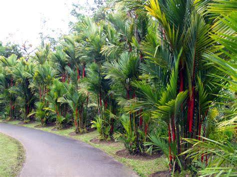 Palmeira Laca Red - Cyrtostachys Renda