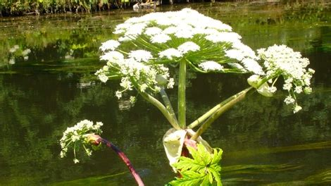 giant hogweed spotted  montreal ctv news