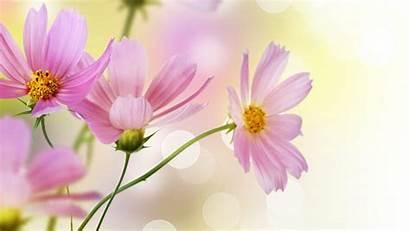 Pink Daisy Desktop Wallpapers Flowers Widescreen Delicate