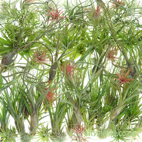 cheap plants wholesale air plant pack bulk 100 tillandsia plants