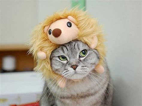hedgehog cat cute cats  hats