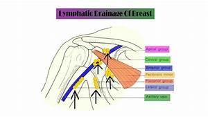 Anatomy Of Breast Lymphatic Drainage
