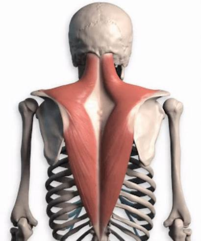 Trapezius Lower Anatomy Upper Motion Shoulder Muscles