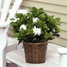 Fragrant Gardenia In Woven Basket  Flowering Plants