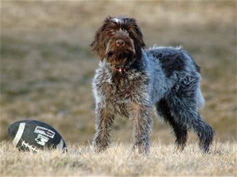 Wirehaired Pointing Griffon Shed by Wirehaired Pointing Griffons 101 Breed Info