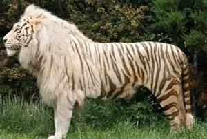 Facts About Ligers and Tigons
