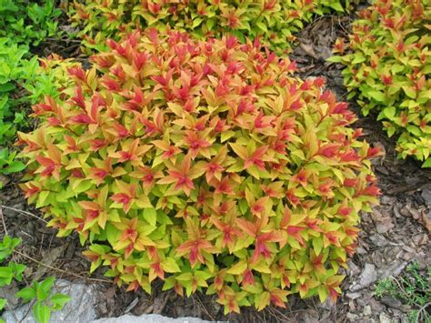 spirea shrub pictures spirea goldflame plants for the new garden beds 2013 pinterest shrub plants and gardens