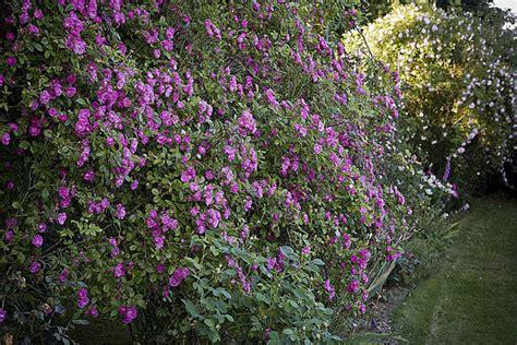 comment planter un rosier dans un pot comment planter un rosier dans un massif