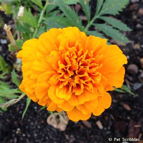 marigolds in garden marigolds in the vegetable garden yes live creatively inspired