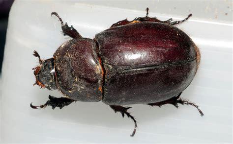 baguseven 39 blog dunia coleoptera