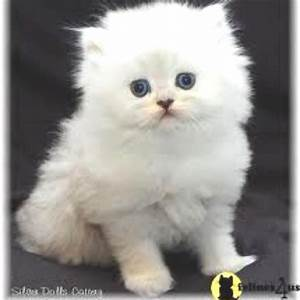 Full grown micro teacup Persian cat. I will own one of ...