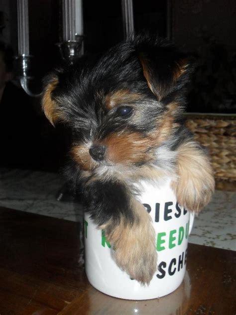 Hunde Welpen Yorkshire Terrier