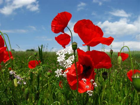 poppy flower part  weneedfun