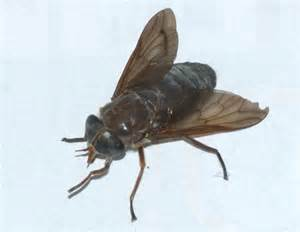 Fly Len by Horse Fly But What Species What S That Bug