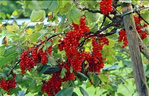 Rote Johannisbeeren Schneiden : rote johannisbeere als beerenb umchen dieses hier ist alt ~ Lizthompson.info Haus und Dekorationen