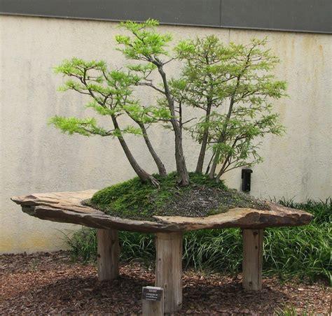 bonsai arten indoor bald cypress bonsai bonsai baum bonsai und baum