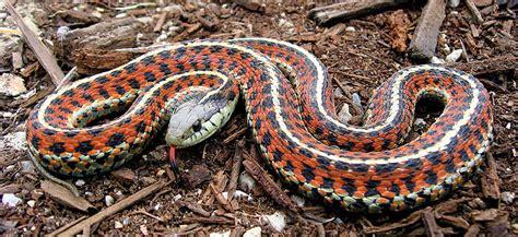 garden snake photograph  coast garter snake