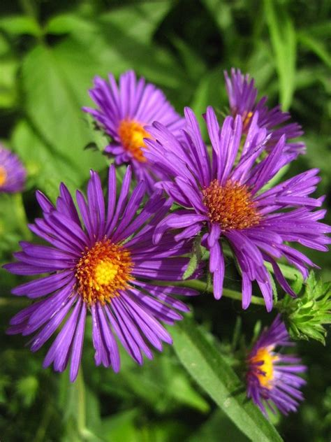 large purple flowers big purple flowers by beththewriter on deviantart