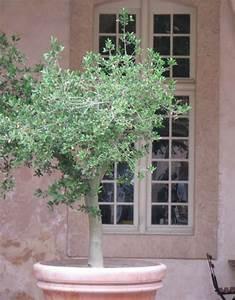 Planter Un Olivier En Pot : olivier en pot plantation taille et conseils d 39 entretien ~ Dode.kayakingforconservation.com Idées de Décoration