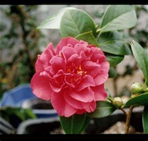 camellia zone 5 camellia japonica ack scent zone 6 9