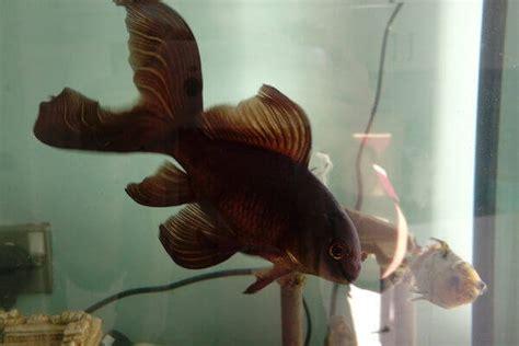 types  goldfish breeds caring pets