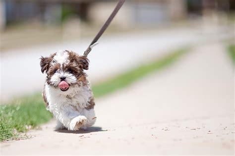 Fileshorkie Poo Puppy Jpg Wikimedia Commons