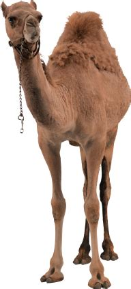 camel png front view png images  camel png