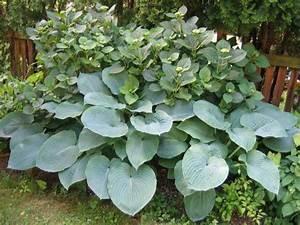 Welche Pflanzen Passen Gut Zu Hortensien : was passt zu hortensien mein sch ner garten forum ~ Lizthompson.info Haus und Dekorationen