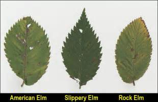 Elm Tree Leaves Identification