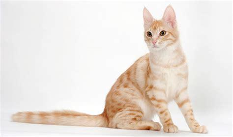 Turkish Angora Cat Breed Information