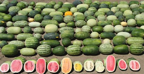 Improving Watermelons By Harvesting Genes From Wild Species