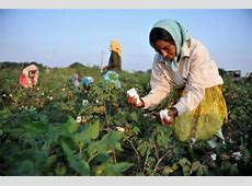 Indian farmers cotton on to sustainable farming