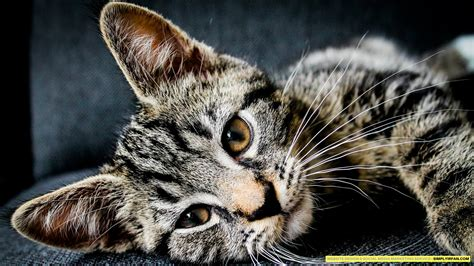 Hd Cat Wallpapers 1920x1080 (69+ Images