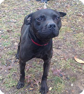 Bloomfield Ct Pit Bull Terrier Meet Quantum A Dog For