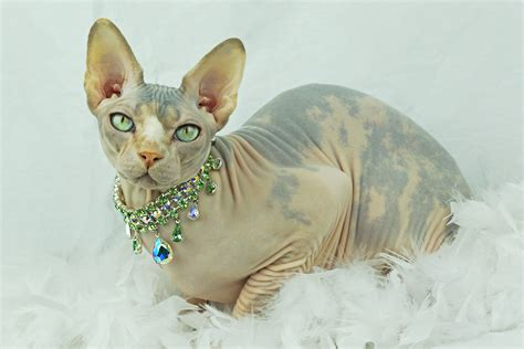 Sphynx Cat Coloring, Download Sphynx Cat Coloring