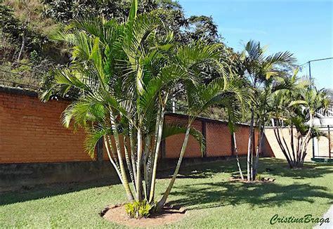 Areca Bambu - Chrysalidocarpus lutescens - Flores e ...
