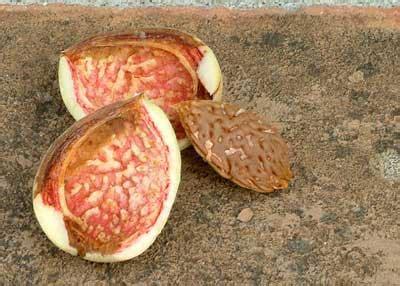 prunus dulcis var amara bitter p amygdal nitty grits