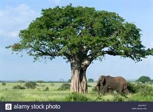 African Baobab Tree Elephant