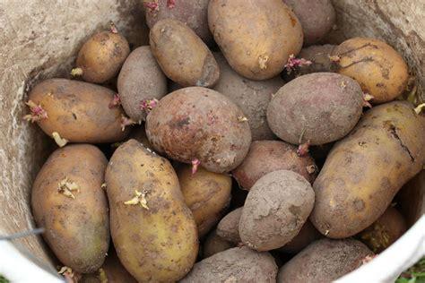 kartoffeln richtig ernten und lagern im k 252 hlschrank wohnung keller hausgarten net