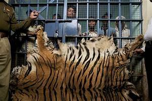 As Asian Luxury Market Grows, A Surge in Tiger Killings in ...