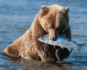 Bear Catching Fish 8 X 10 Glossy Photo Picture Image  7