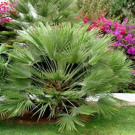 palmier nain plantes et jardins