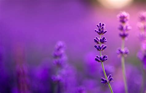 wallpaper lavender bokeh  purple images  desktop