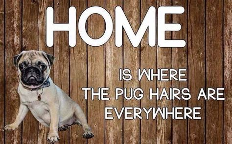 Do Pugs And Puggles Shed by 17 Best Images About Shippo Stuff On Pug