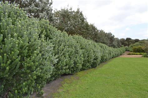 of bush adenanthos sericeus woolly bush gardening with angus