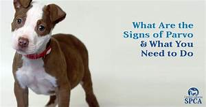 what are the signs of parvo