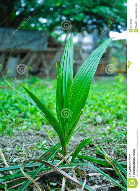 plante de noix de coco photos libres de droits image 26537898