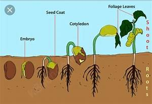 Describe Different Stages Of Seed Germination With The