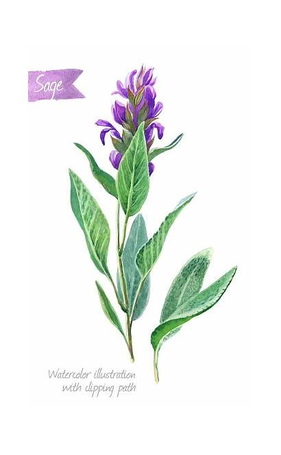 Sage Watercolor Plant Leaves Flowers Isolated Salvia