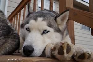 husky puppy with blue eyes Alabama – Siberian Husky ...
